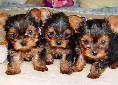 5 Points To Consider Before You Adopt Terrier Breeders