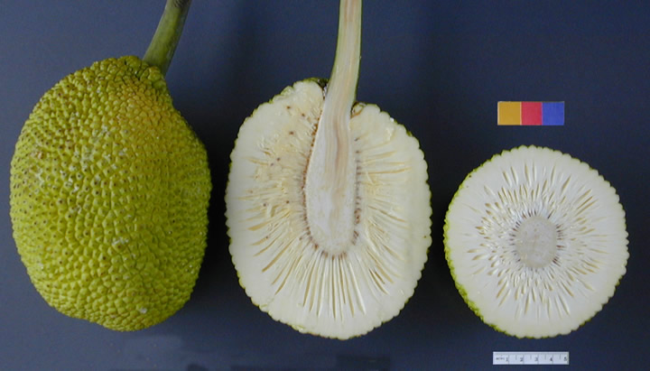 Top 6 Health Benefits Of Breadfruit