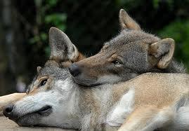 Monogamous Nature Of Animals