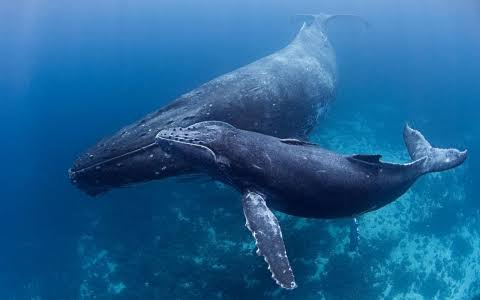 Humpback Whales vs. Blue Whales