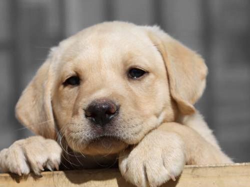Facts You Requisite To Know Around The Labrador Retriever