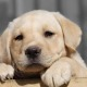 Facts You Requisite To Know Around The Labrador Retriever