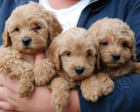 Miniature-Labradoodle-Puppies-Pictures