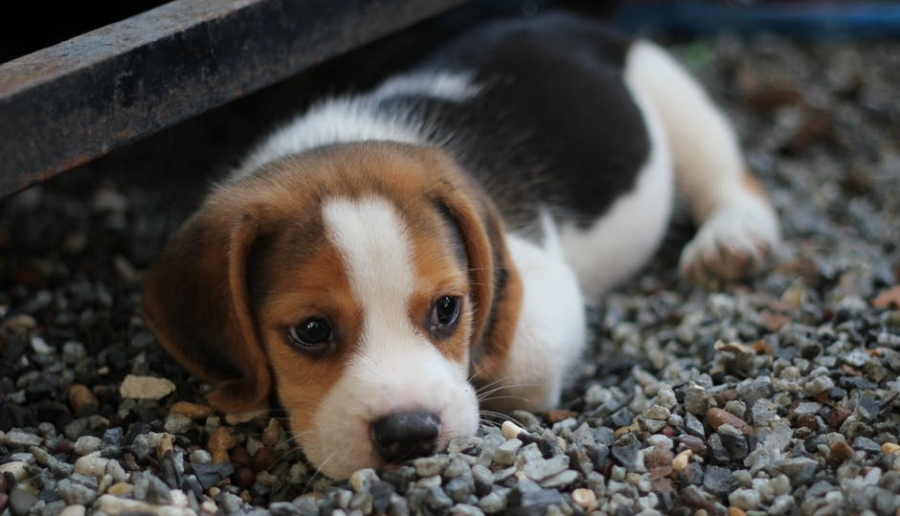Canine Distemper Virus: Signs And Symptoms